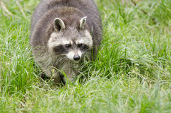 Raccoon walking through a green meadow Royalty Free Stock Image