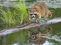 Raccoon walking a log fishing in water. Stock Photography