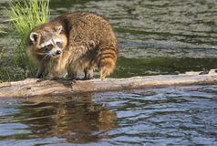 Raccoon walking a log fishing in water. Royalty Free Stock Images