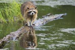 Raccoon walking a log fishing in water. Royalty Free Stock Photo
