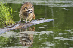 Raccoon walking a log fishing in water. Stock Image