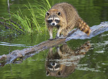 Raccoon walking a log fishing in water. Stock Images
