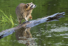 Raccoon walking a log fishing in water. Royalty Free Stock Photos