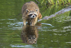 Raccoon walking a log fishing in water. Royalty Free Stock Photography