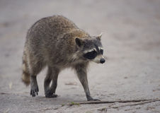 Raccoon Walking 0n a trail Stock Images