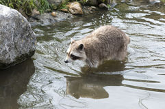 Raccoon walking in the small river Royalty Free Stock Photography