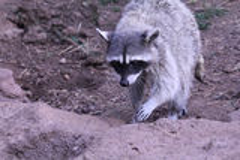 Raccoon walking. Toward a Drinking Royalty Free Stock Photo