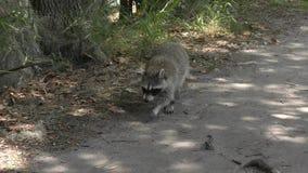 Raccoon walking on a trail in Florida