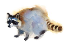 Raccoon Walking Wild Animal Winter Illustration Hand Painted. Hand painted Watercolor Portrait of Walking Raccoon isolated on white background Royalty Free Stock Photography