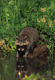 Raccoon Washing. A raccoon washes its paws in shallow water Royalty Free Stock Image