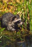 Raccoon Washing Paws Royalty Free Stock Photo