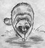 Raccoon washing something. Hand drawn pencil sketch of a big fluffy raccoon washing something in a pool Royalty Free Stock Photos