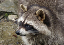 Raccoon and water Stock Image