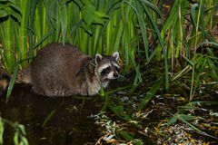 A Raccoon in the Water. A Raccoon in the Water is looking around Stock Images