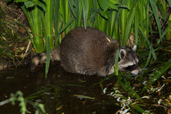 A Raccoon in the Water is looking for food. A tame Raccoon in the Water is looking for food Stock Images