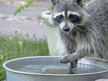 Raccoon at watering pan Royalty Free Stock Image