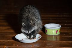 Raccoon on the wet deck at night eating from the cat bowl stock images
