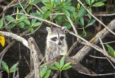 Raccoon in Wild, Everglades National Park, 10,000 Islands, FL Stock Photo