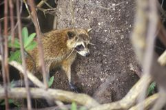 Raccoon in Wild, Everglades National Park, 10,000 Islands, FL Stock Image