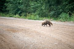 Raccoon in wild life stock images