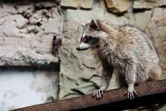 Raccoon Stock Image
