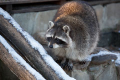 Raccoon in the winter on logs. Raccoon in the winter on the logs. Portrait Royalty Free Stock Image