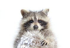 Raccoon during winter Stock Image