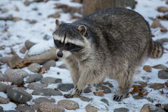 Raccoon in winter on snow. Portrait Royalty Free Stock Image