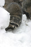 Raccoon in the winter among stones Stock Images