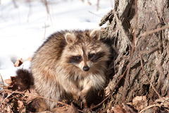 Raccoon in winter Stock Image