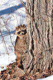 Raccoon in winter Royalty Free Stock Photo