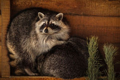 Raccoon. In the wood box royalty free stock images