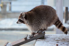 Raccoon  on a wooden ladder. Raccoon on the wooden stairs in the winter Stock Images