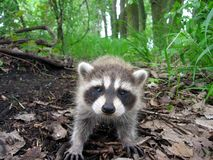 Raccoon in the Woods. A Raccoon walking around the woods Royalty Free Stock Image