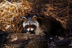 Raccoon In The Woods. Raccoon making his rounds in the woods Stock Image