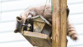 Raccoon (Procyon lotor) on a bird feeder, eastern Ontario.  Masked mammal looks for and finds an easy meal. Stock Photo