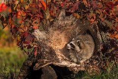 Raccoon (Procyon lotor) Inside Log Royalty Free Stock Photos