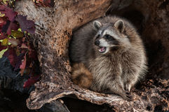 Raccoon (Procyon lotor) Looks Left and Cries Stock Image