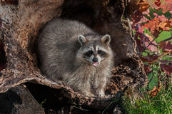 Raccoon (Procyon lotor) Looks Out and Cries Royalty Free Stock Image