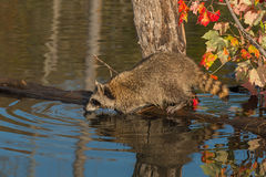 Raccoon (Procyon lotor) Looks Out from Log in Pond Royalty Free Stock Images