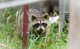 Raccoon (Procyon lotor) in the woods at a feeder. Stock Images