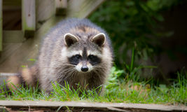 Raccoon (Procyon lotor) in the woods at a feeder. Stock Photography