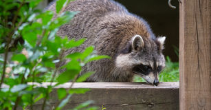 Raccoon (Procyon lotor) in the woods at a feeder. Royalty Free Stock Photos