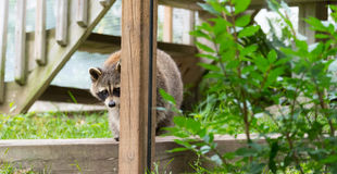 Raccoon  (Procyon lotor); in the woods at a feeder. Royalty Free Stock Image