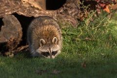 Raccoon (Procyon lotor) Walks Forward Royalty Free Stock Images