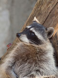 Raccoon in a zoo Stock Image