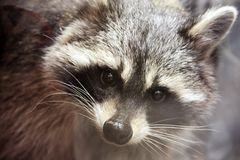 Raccoon at the zoo stock image