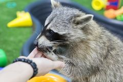 Raccoon in the zoo, eating out of hand. The raccoon in the zoo, eating out of hand Stock Photos