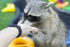 Raccoon in the zoo, eating out of hand. The raccoon in the zoo, eating out of hand Royalty Free Stock Image