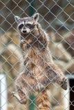 Raccoon in zoo Stock Photography